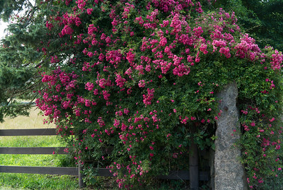 Wild roses and wood fence. Chillmark, Martha's Vineyard.