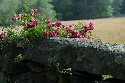 Wild roses on a stone wall. Chillmar, Martha's Vineyard.