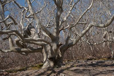 Beech Tree, Cedar Tree Neck Sanctuary