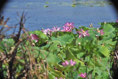 Nelumbo nucifera, Nelumbonaceae
