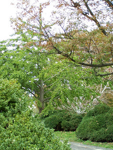 Ghinko Tree (in the middle).  Dan says they are prehistoric.  They didn't die off with the dinosaurs.