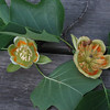 An Inside Look at Tulip Poplar Flowers - The Right One Has a Slug in It  - Gwynn Falls Trail