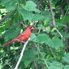 Long Distance Shot of a Male Cardinal - Carrie Murray Nature Center