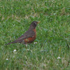 Mr. Robin Bobbin' Along - Winan Meadows - Gwynn Falls Trail