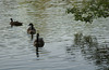 Canada geese visit in morning near our Trap Pond site