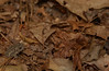 Toad in dry leaves