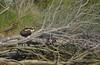 Osprey rescued by Annalisa Wilde