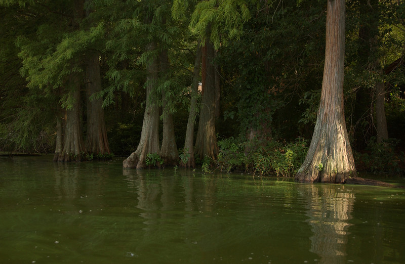 Bald cypress trees at Trap Pond