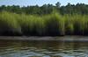 Reeds, Tyaskin  (Wetipquin Creek)
