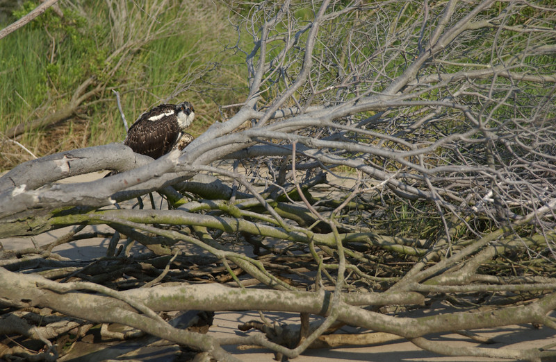 Young Osprey rescued by Annalisa W.