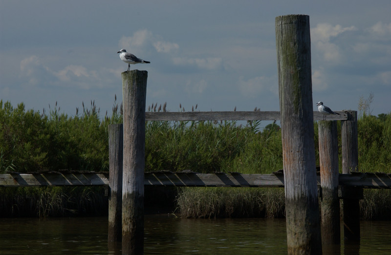Gulls, Tyaskin  (Wetipquin Creek)