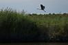 Great Blue Heron, Tyaskin  (Wetipquin Creek)