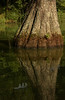 Bald Cypress Reflections with Feather