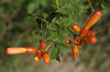 Trumpet Vine Buds at Herring Pt.