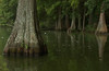 Bald cypress trees at Trap Pond