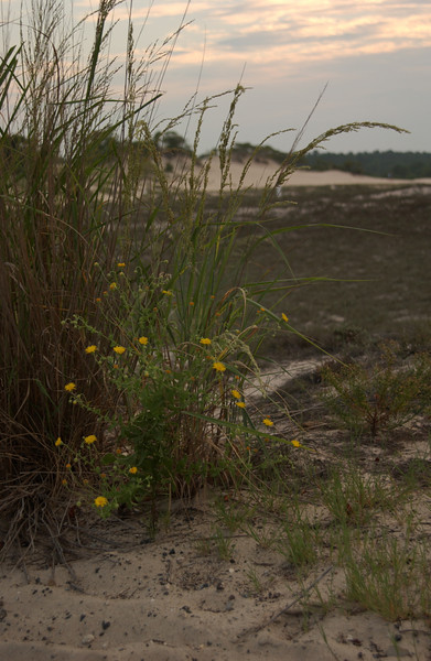 Wildflowers by the Great Dune, Cape Henlopen