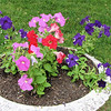 Bright Colors of Petunias in Large Planters Near Entrance - Mt. Olivet Cemetery - Frederick, MD
