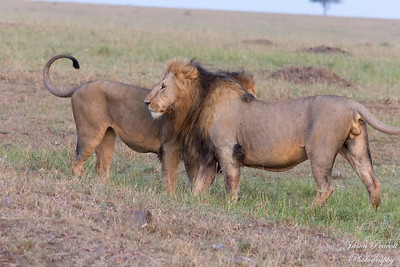 Early Morning Male Lion brothers meeting up after a night of hunting