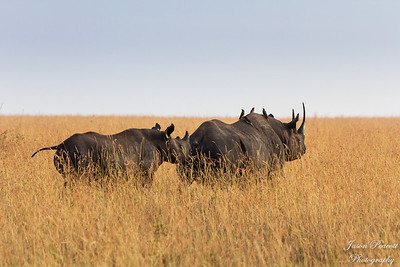 Black Rhino - critically endangered, there are less than 30 in all of Kenya