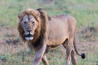 Early Morning Male Lion before sunrise