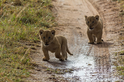 Wandering Lion Cubs