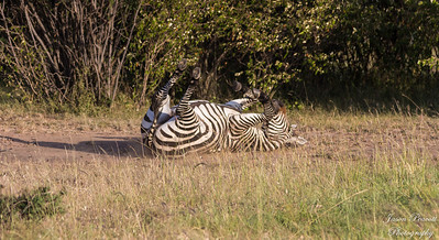 Zebra back scratching
