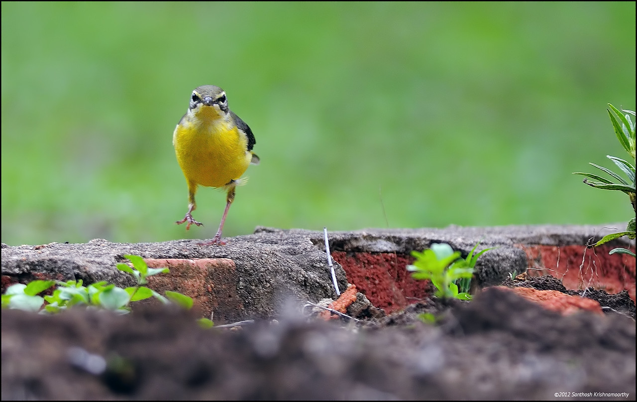 Stride ahead.....!....Yellow Wagtail