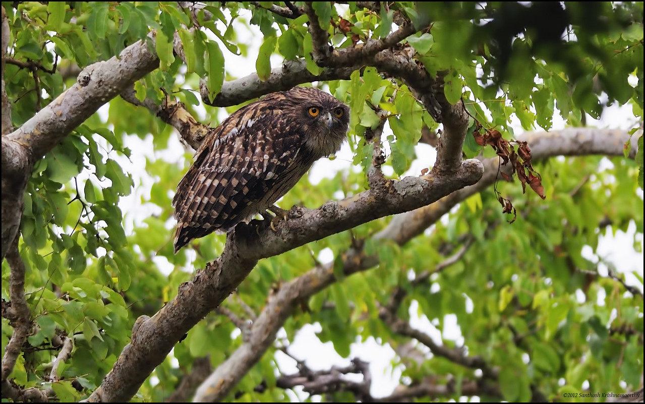 Looks like a wise old man......Brown Fish Owl..........