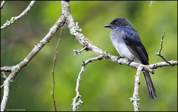 White bellied Drongo....