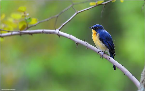 Tickell's blue flycatcher