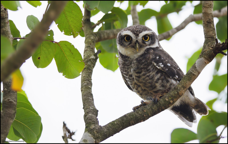 Spotted Owlet....