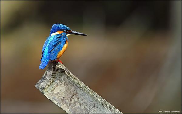 Common Kingfisher......