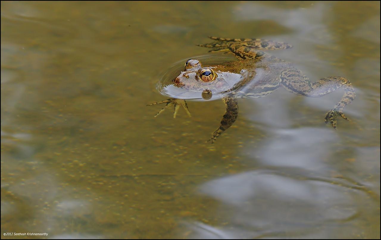Skittering Frog..., I think....?