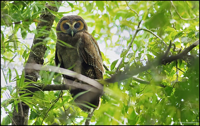 Brown Wood Owl......., was sitting in a very tricky position for photography, tried my best :) ...., watched it through the Binocs....what an awesome bird.....!!....loved it......