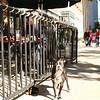 A Boston terrier. SND Boston, October 2007. © 2007 JOANNE MILNE SOSANGELIS, All rights reserved