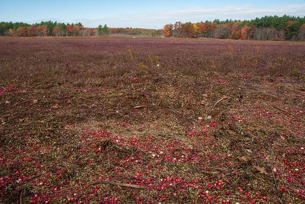 Cranberry Bog - Carlisle MA