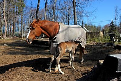 Gurtie and her Foal, Linus