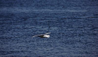 Seagull flying over the Merrimack River