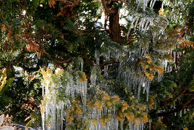 Icicles on an Evergreen - Newbury