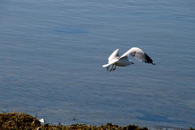 Ring-billed Gull - Salisbury