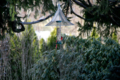 Northern Cardinal - Newbury