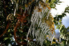 <b>Icicles on an Evergreen - Newbury, MA</b>  (March 29, 2008)