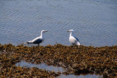 Ring-billed Gulls - Salisbury