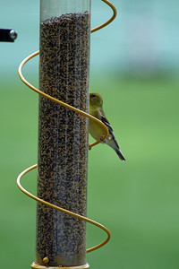 American Goldfinch [adult breeding female]