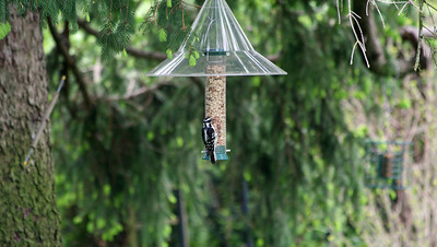 Downy Woodpecker [female]