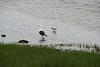 Great Black-backed Gull, Ring-billed Gull