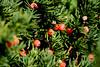 Yew Berries - Newbury, MA
