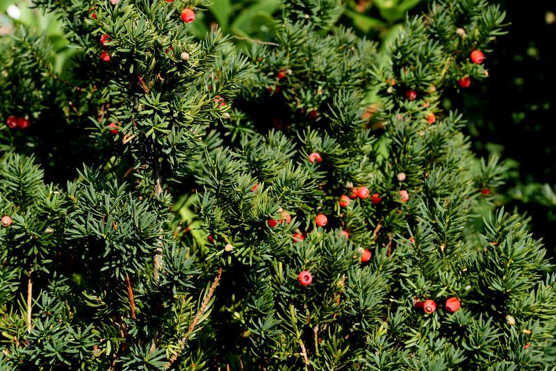 Yew Berries - Newbery, MA