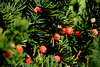 Yew Berries - Newberry, MA