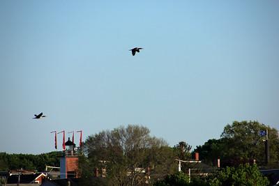 Double-crested Cormorants in Flight